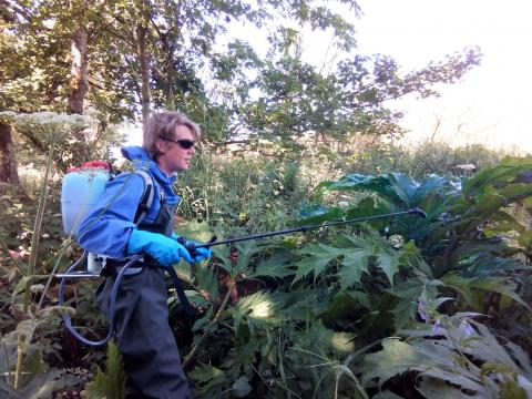 Giant hogweed management