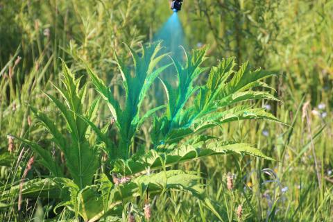 spraying giant hogweed
