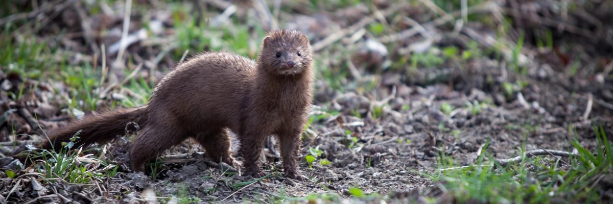 Mink Control Project Scottish Invasive Species Initiative