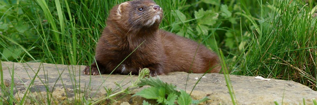 American Mink Scottish Invasive Species Initiative